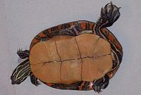 The under shell(plastron) of a southern painted turtle