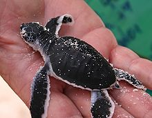 Photo of newly hatched turtle held in human hand