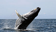 Photo of humpback in profile with most of its body out of the water, with back forming acute angle to water