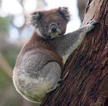 A =koala holding onto a eucalyptus tree with its head turned so both eyes are visible