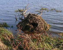 mound of sticks in the water about 10 feet from shore