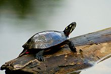A painted turtle standing on a floating log