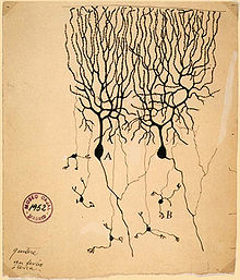 Hand drawn figure of two Purkinje cells side by side with dendrites projecting upwards that look like tree branches and a few axons projected downwards that connect to a few granule cells at the bottom of the drawing.