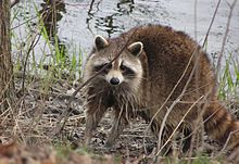A common raccoon standing at the shore of a small pond