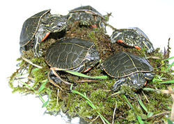 Several baby painted turtles on moss on a light table.