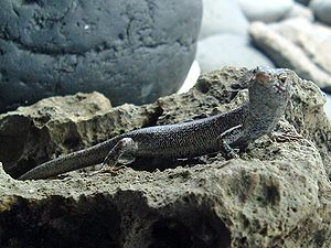 Lizard, seen from the right, with its head bent to the right, on a rock